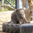 Baby Elephant — Stock Photo #34789815