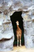 Baby Giraffe — Stock Photo