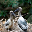 Baby Storks Feeding Time — Stock Photo