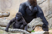 Baby Gorilla and Silverback — Stock Photo