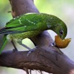 Green Catbird Eating Fruit — Stock Photo
