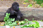 Young Gorilla — Stock Photo