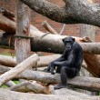 Chimpanzee — Stock Photo