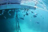 Velký bariérový útes ryby — Stock fotografie