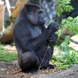 Adult Gorilla — Foto Stock