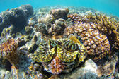 Giant Clam Great Barrier Reef — Stock Photo