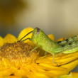 Locust Eating Flower — Stock Photo #37014659