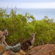 Kangaroos on Island — Stock Photo #38063385