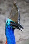 Endangered Cassowary — Stock Photo