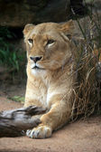 Lion Big Cat — Stock Photo