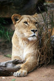 Female Lion — Stock Photo
