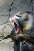 Wild Mandrill Baboon — Stock Photo