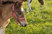 Filly grazing fresh grass — Stock Photo