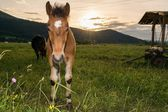 Young colt with sun setting down — Stock Photo