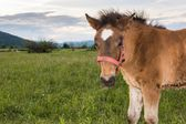 Filly on a meadow — Stock Photo