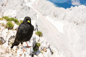 Alpine chough sitting on a rock — Stockfoto