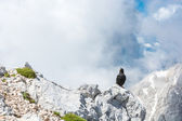 Alpine chough sitting on a rock — Zdjęcie stockowe