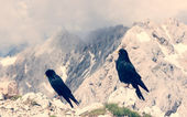 Pair of alpine choughs — Стоковое фото