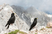 Pair of alpine choughs — Stockfoto