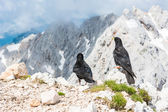 Pair of alpine choughs — Stock Photo