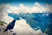 Alpine chough sitting on a rock — 图库照片