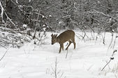 Roebuck in winter — Foto Stock