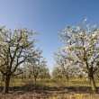Flowering sour cherry orchard wide angel — Stock Photo