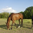 Two horses on the farm grazing — Stock Photo
