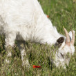 Goat on the meadow grazing — Foto Stock