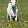 Funny goat on the meadow — Stock Photo