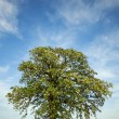 Huge flowering tree with nice sky vertical — Stock Photo