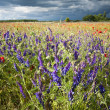 Delphinium and poppy in the meadow — Stock Photo