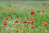 Red poppies on the meadow — Stock Photo