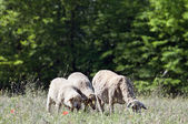 Sheep and lambs on the meadow — Stockfoto