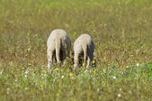 Two funny lambs tail on the meadow — Stock Photo