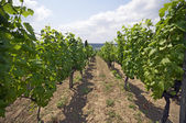 Cute vine rows — Foto Stock