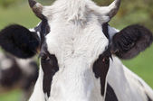 Close-up cow portrait — Stock Photo