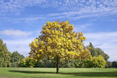 Yellow autumn tree in the park — Stock Photo