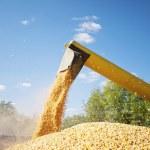 Corn harvesting loading — Stock Photo