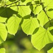 Green leaves with backlight — Stock Photo