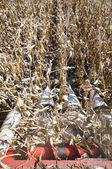 Corn harvesting from harvester — Stock Photo