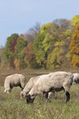 Sheep on autumn color meadow — Stock Photo