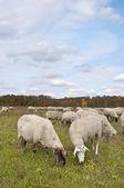 овец на лугу осенний цвет — Стоковое фото