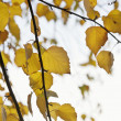Yellow leaves with back lit — Stock Photo