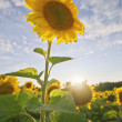 Stock Photo: Back lit sunflower