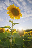 Back lit sunflower — Stock Photo