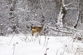 Wintry roe deer — Stock Photo