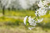 Flowering sour cherry orchard — Foto de Stock