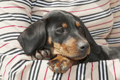 Dachshund puppy in arms — Stock Photo