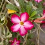 Desert Rose Flower — Stock Photo